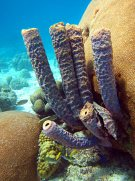 Tube Sponges & Coral Heads