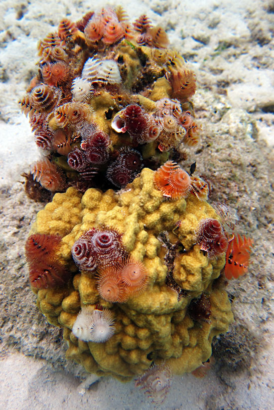 Mustard Hill Coral & Christmas Tree Tube Worms