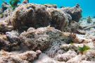 Two Spotted Scorpionfish