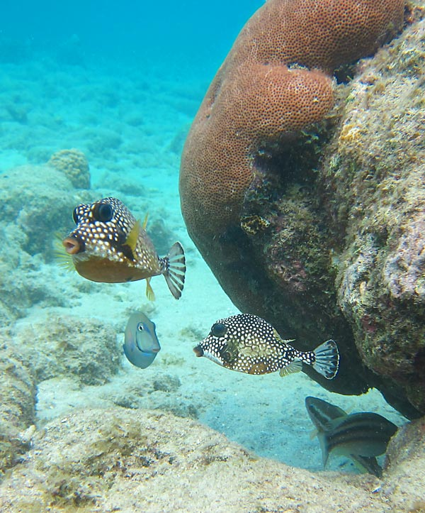 Trunkfish Pair