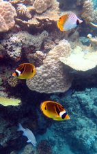 Butterflyfish and boulder corals.