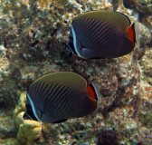 Definitely one of our favorites in the Maldives, the Redtail Butterflyfish.