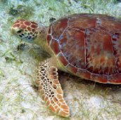 It Is Easy To See Turtles On St John