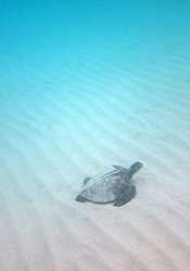 Baby Sea Turtle Big Island Hawaii