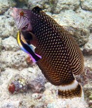 Tropical Fish - Big Island Snorkeling