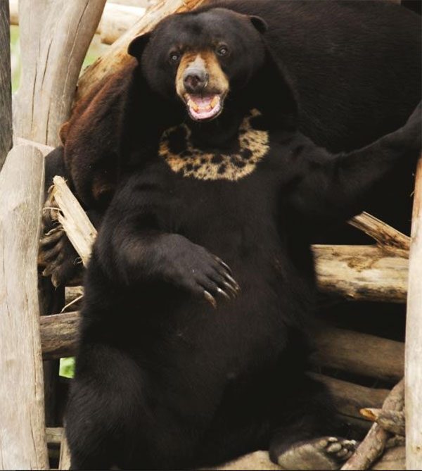 See sun bears on our excursion from Samboja Lodge.
