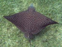 Swim With Spotted Eagle Rays