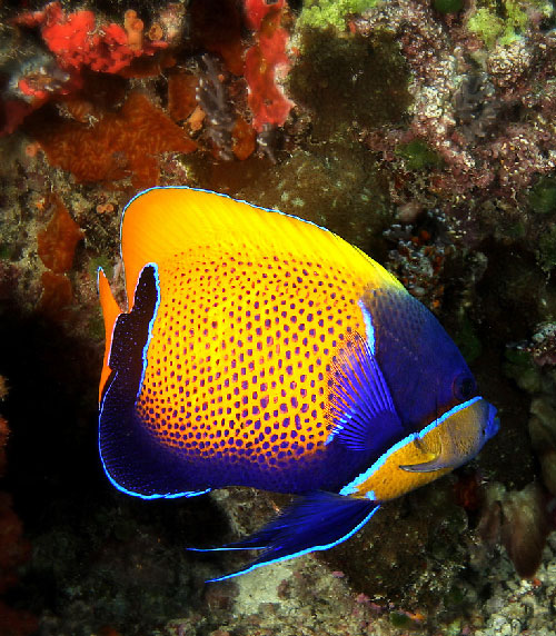 Vibrantly colored immature Angelfish in Palau.