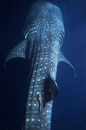 An amazing and unique experience we all had with Whale Sharks on our liveaboard boat.