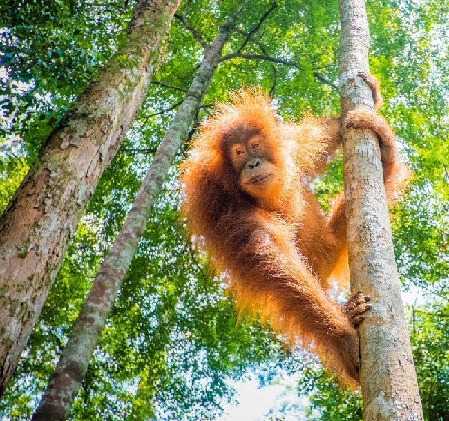 As a side trip, visit orangutans on their home island of Borneo.