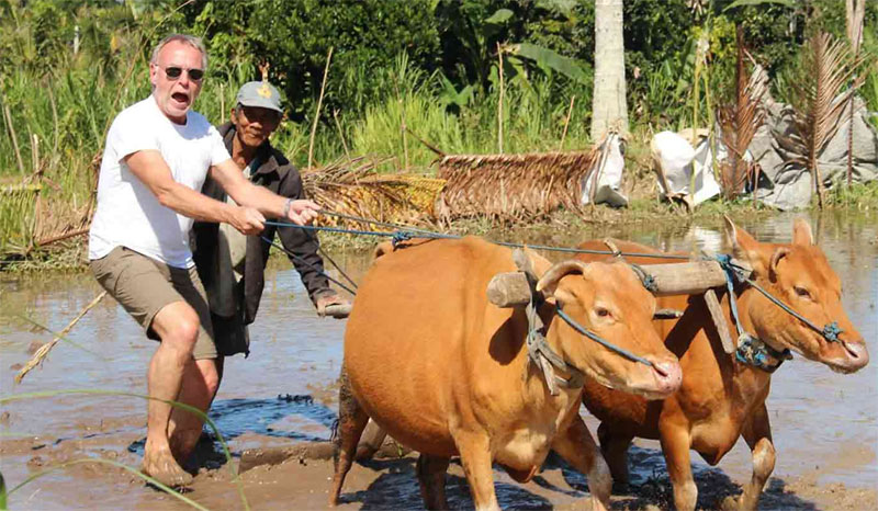 Learn about how local Balinese farmers use buffalo to plant and plow their crops.
