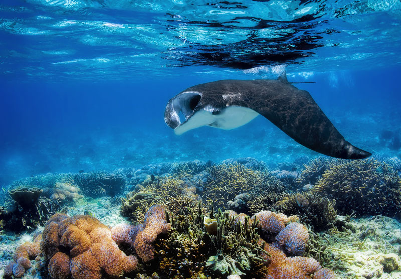 Numerous Manta Ray cleaning stations throughout the region virtually guarantee sightings.