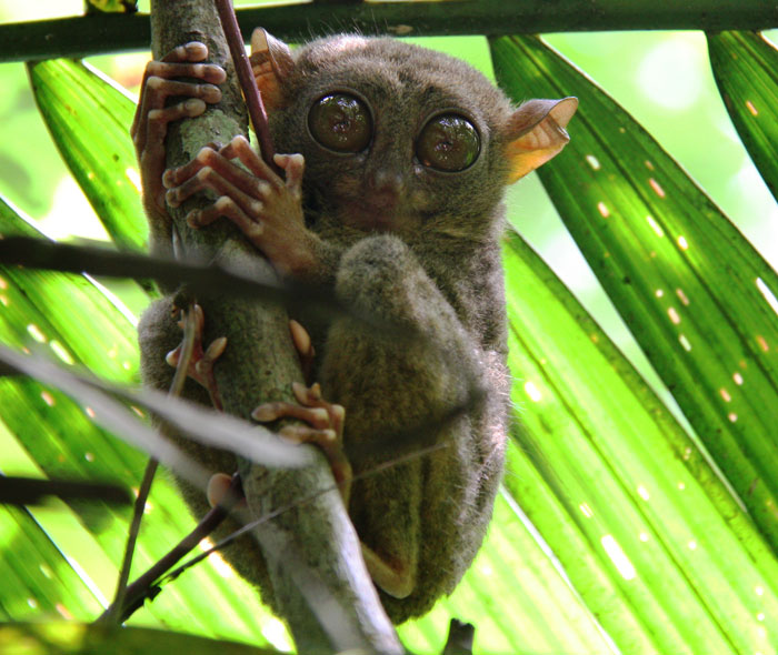 One of your non-snorkeling activities on this trip will be to the Tarsier Sanctuary, where you can see the world's smallest primates.
