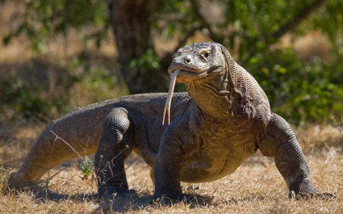 In addition to amazing snorkeling, you will have the chance to see Komodo Dragons in their native habitat on this trip.
