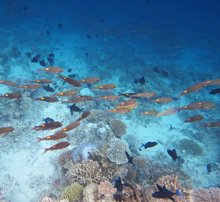 So many fish at this Maldives snorkeling resort!