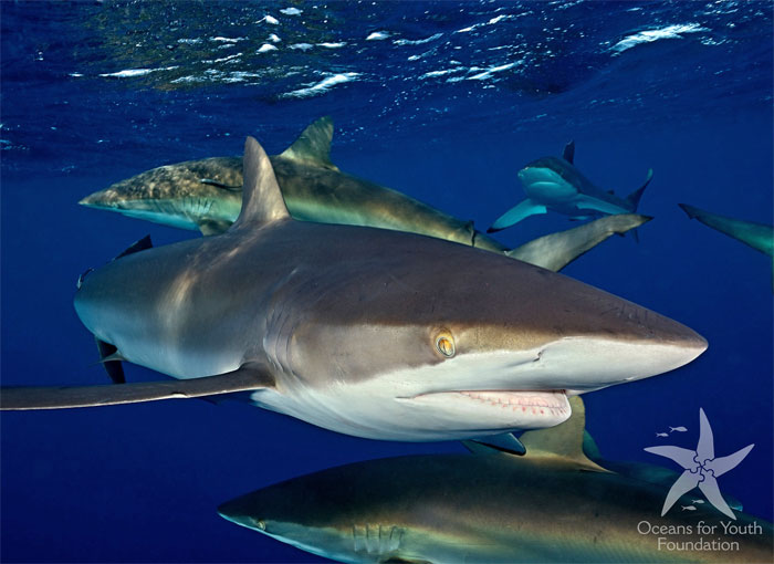 Snorkeling with sharks is one of the highlights of this Cuba trip.