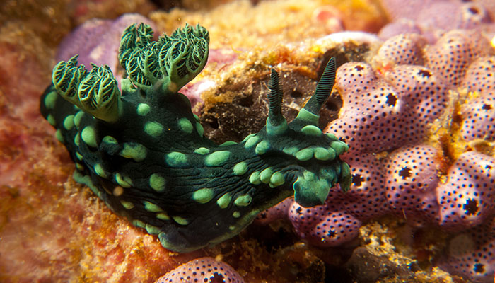 See unique creatures while snorkeling in Sulawesi like this beautiful nudibranch.