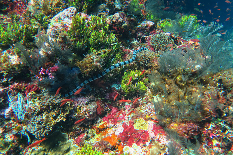 This reef was so colorful it was hard to believe. The colors are unedited. And yes, that is a snake, a Banded Sea Krait to be specific. There were many in Alor.