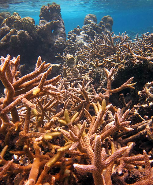 Big Staghorn Coral Patch At Lac Bay
