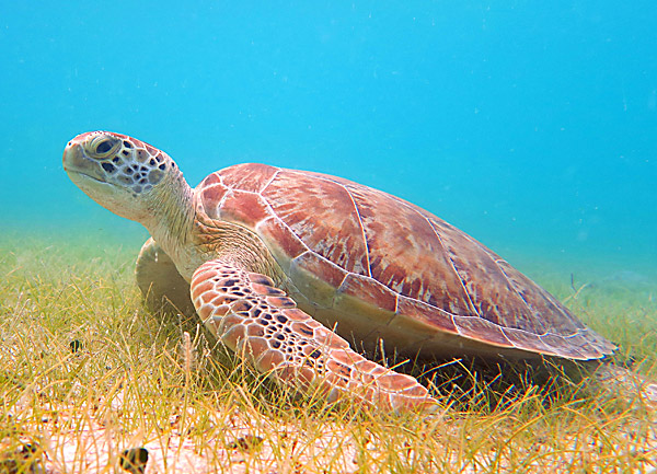 Turtle resting in the sea grass that it also feeds on
