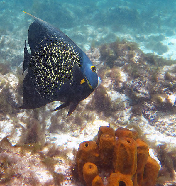 French Angelfish & Tube Sponge