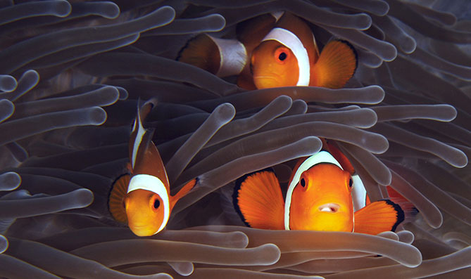 Experience the thrill of seeing the amazing anemonefish with your own eyes.