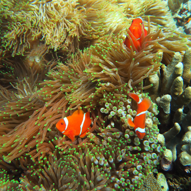 Beautiful anemones with their resident anemonefish were common and a joy to see in Komodo.