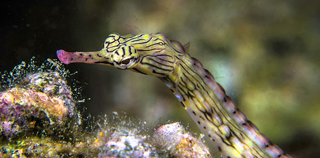 Pipefish are also commonly seen on Wakatobi's house reef.