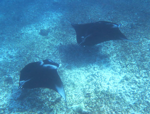 In Komodo you are nearly guaranteed manta ray sightings with a number of possible spots to see them.