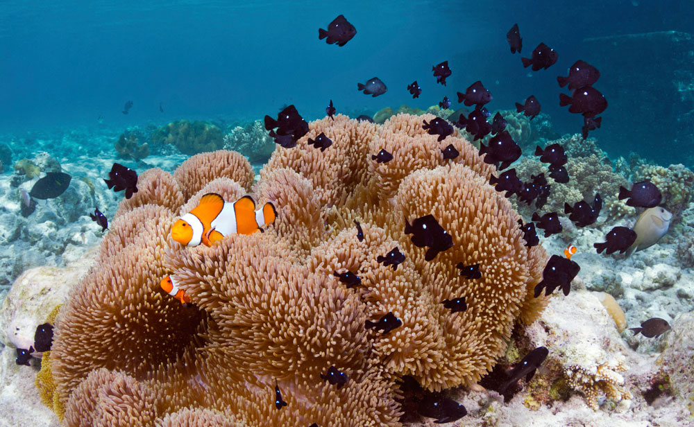 Huge anemones with their resident aneomonefish and damselfish are a treat to see in Wakatobi.