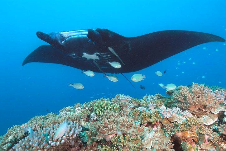 You have a good chance of snorkeling with Manta Rays in Fiji.