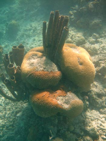 Tube sponges and hard corals Blue Hole Belize