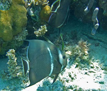 Gray Angelfish - Belize