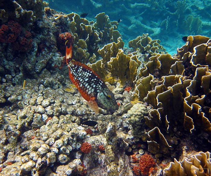 Stoplight Parrotfish & Fire Coral