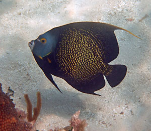 We found this French Angelfish at one of the best Keys snorkeling spots described below.