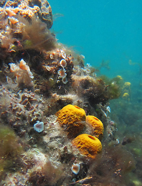 Feather Duster Worms And Tube Sponges