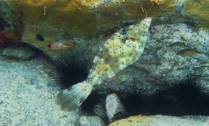 Scrawled Filefish and Long Spined Urchins
