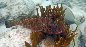 Red Hind Grouper trying to hide in a sponge