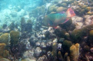 Rainbow Parrotfish & Pillar Coral