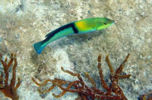 Yellowhead Wrasse poses for a picture at Kiddel Bay