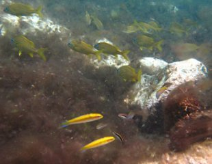 Wrasses and Grunts