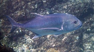 We saw Giant Trevally numerous times while snorkeling in Komodo.