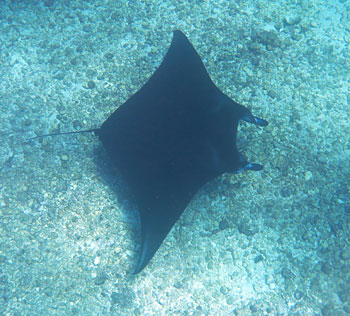 It is very likely that you will see some manta rays in Komodo. They are common here and can be seen in many different spots.