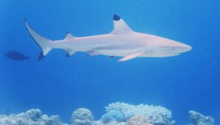 We saw many reef sharks snorkeling in the Maldives. Here is one of the Blacktips.