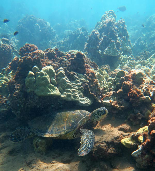 Poolenalena Sea Turtle resting on the reef.