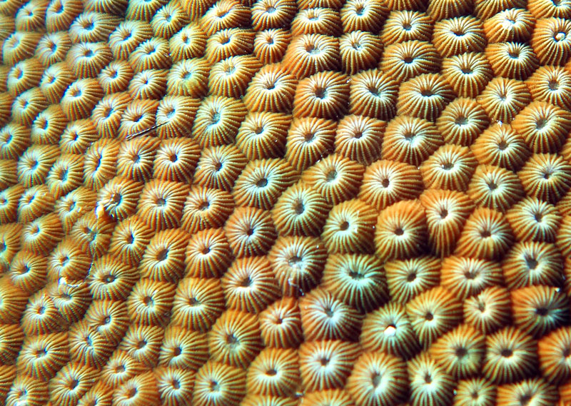 Healthy coral polyp colony, with retracted polyps.