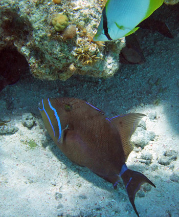 Queen Triggerfish - Seen when snorkeling Half Moon Caye