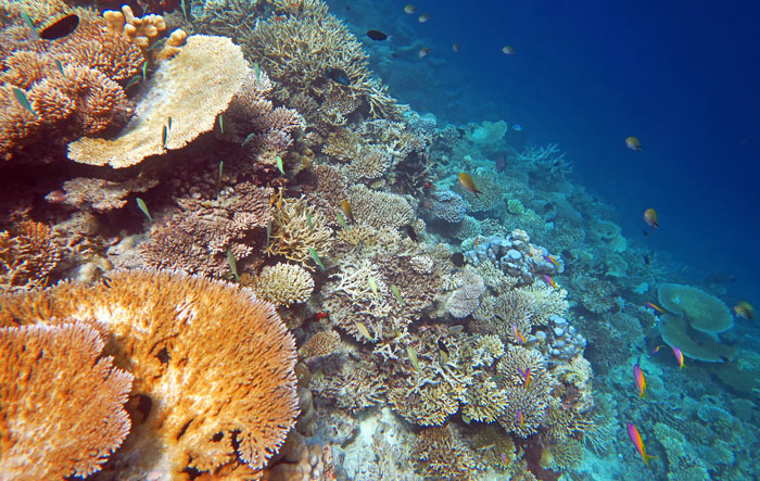 Healthy north shore reef on Vilamendhoo