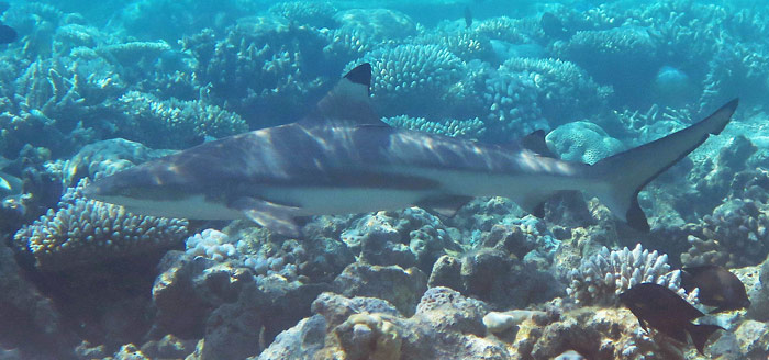 You Can See Adult Blacktip Reef Sharks Too.
