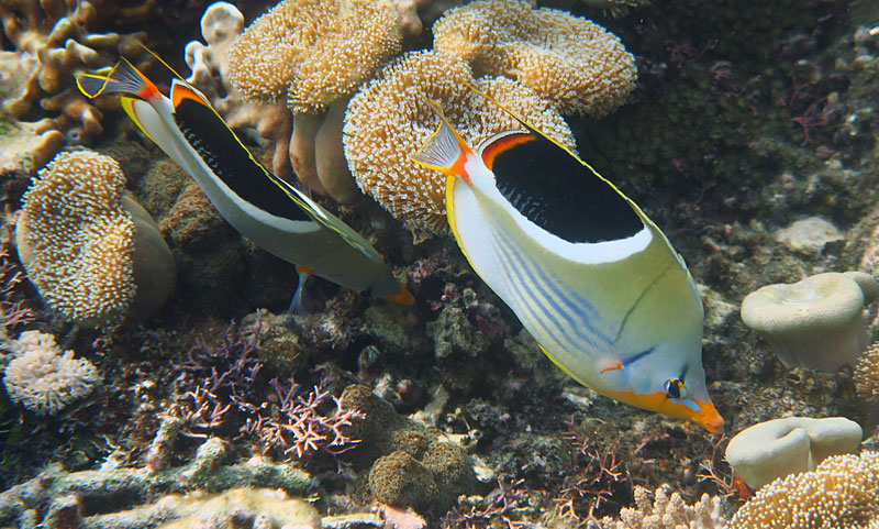 A handsome pair of Saddleback Butterflyfish on a coral reef in Komodo.